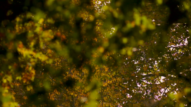 pull focus between richly-coloured leaves on a fruiting london plane tree in autumn, uk. - tranquility stock videos & royalty-free footage