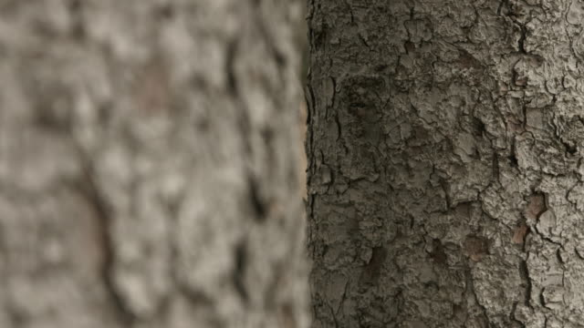 pull focus between two pine tree trunks. - nadelbaum stock-videos und b-roll-filmmaterial