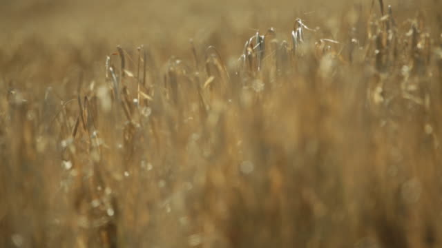 Pull focus close up wheat field