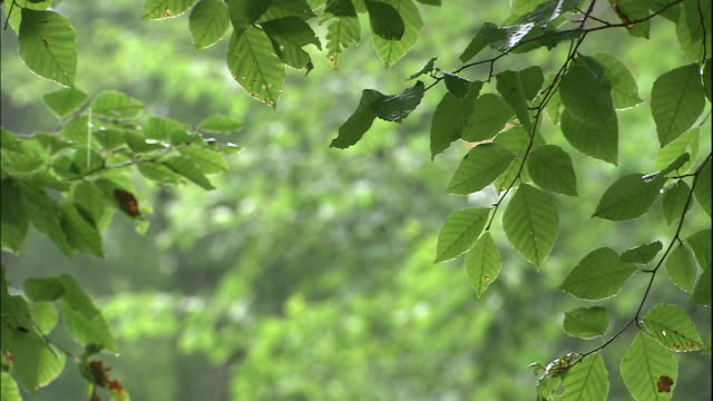 vídeos de stock, filmes e b-roll de pull focus from beech leaves to trees in rain, shirakami mountains, akita, aomori, japan - faia árvore de folha caduca