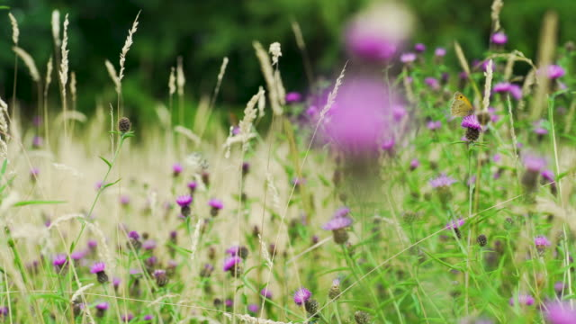 pull focus from butterflies feeding to thistle flower - meadow stock videos & royalty-free footage