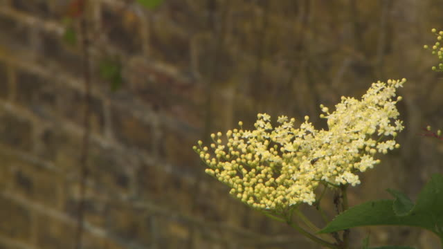 vidéos et rushes de pull focus from dainty yellow wildflowers to a curved, overgrown brick wall behind, uk. - courbe