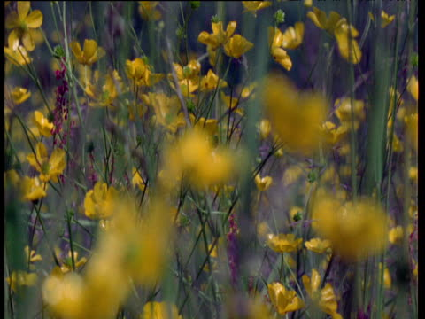 pull focus from field of buttercups to single plant, uk - ranunkel stock-videos und b-roll-filmmaterial