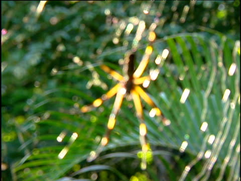 pull focus from jungle foliage to large spider sitting in middle of sparkling web costa rica - animal markings stock videos & royalty-free footage