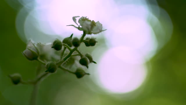 pull focus from leaves of tree to cu white flowers in bloom - rack focus stock videos & royalty-free footage