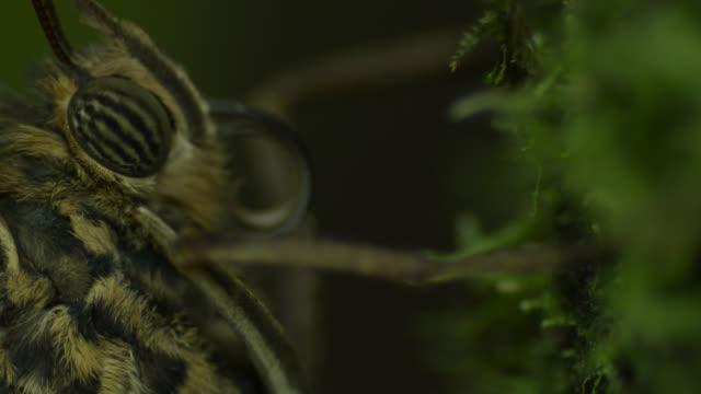 Pull focus from legs to proboscis of resting owl butterfly (Caligo species).
