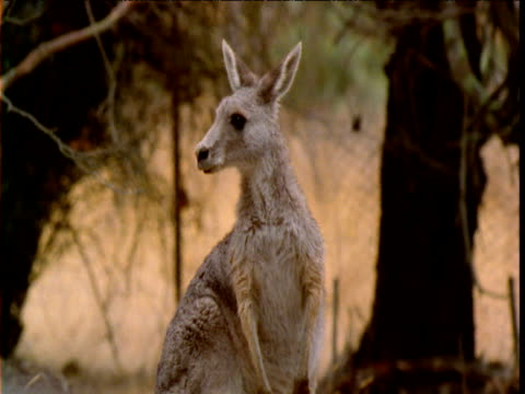 Pull focus from one grey kangaroo to another closer one as it peers to camera, Victoria