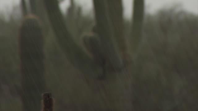 vídeos y material grabado en eventos de stock de pull focus from very heavy rain fall to large saguaro cactus (carnegiea gigantea) and prickly pear cactus, sonoran desert, arizona, usa - cactus saguaro