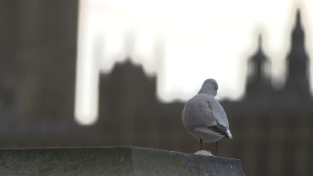 pull focus of seagull perched in front of houses of parliament london - seagull stock videos & royalty-free footage