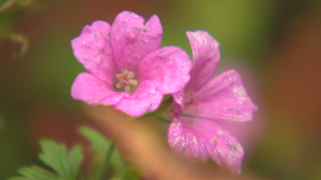 vídeos de stock e filmes b-roll de pull focus off and onto a soft focus view of two pink flowers in a uk garden. - rack focus