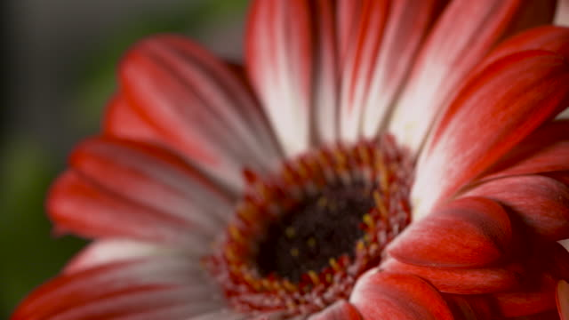 Pull focus on a beautiful red gerbera flower.