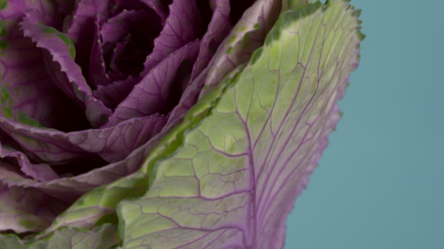 Pull focus on a purple leaved ornamental cabbage.