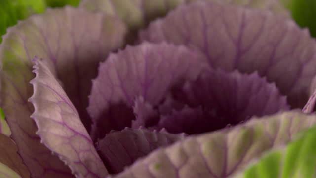 pull focus on a purple leaved ornamental cabbage. - leaf vein stock videos and b-roll footage