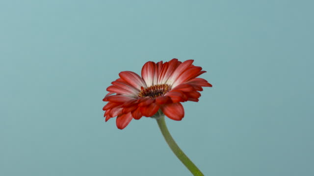 Pull focus on a red gerbera flower in front of a blue background.