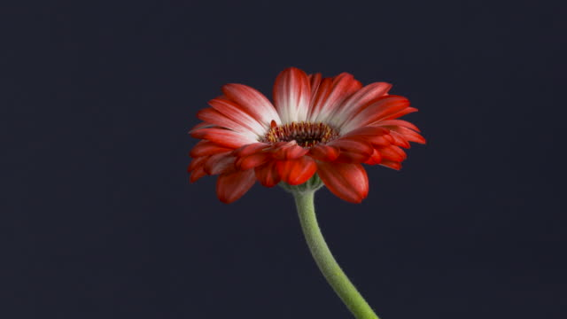 Pull focus on a red gerbera flower in front of a navy blue background.