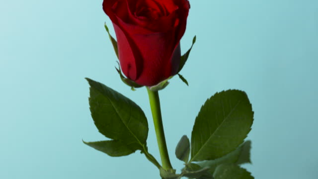 vídeos de stock e filmes b-roll de pull focus on a single red rose in front of a blue background. - caule de planta