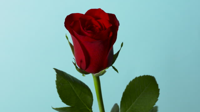 pull focus on a single red rose in front of a blue background. - valentines day stock videos & royalty-free footage