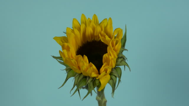 pull focus on a single sunflower in front of a blue background. - ヒマワリ点の映像素材/bロール