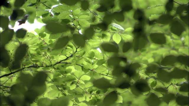 pull focus on beech (fagus sylvatica) leaves in woodland, uk - beech tree stock videos and b-roll footage