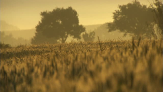 Pull focus on warm hazy yellow meadow horizon trees and wheat in the evening
