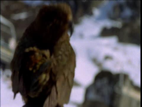 vidéos et rushes de pull focus onto kea preening and stretching at ski resort, ski lift behind, south island, new zealand - se lisser les plumes