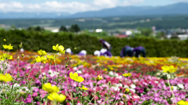 pull focus over bright flowers, japan. - ranunculus stock videos & royalty-free footage