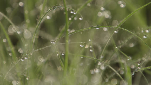 Pull focus over dew drop covered grass, Senegal