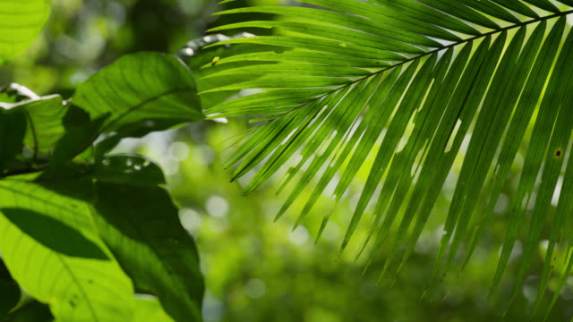 """pull focus over palm frond in forest, philippines"" - frond stock videos & royalty-free footage"