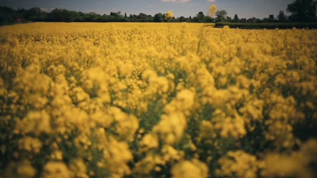 vidéos et rushes de pull focus shot, rapeseed blooms in the sunshine, in a field close to the village of brewood in south staffordshire on june 4, 2013 in stafford,... - crucifers