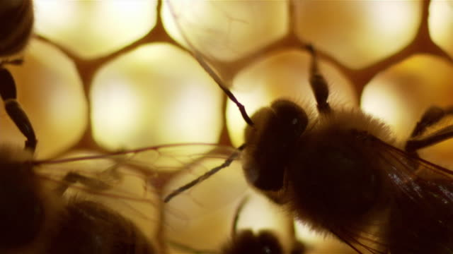 vidéos et rushes de pull focus shots of bees in a beehive - abeille