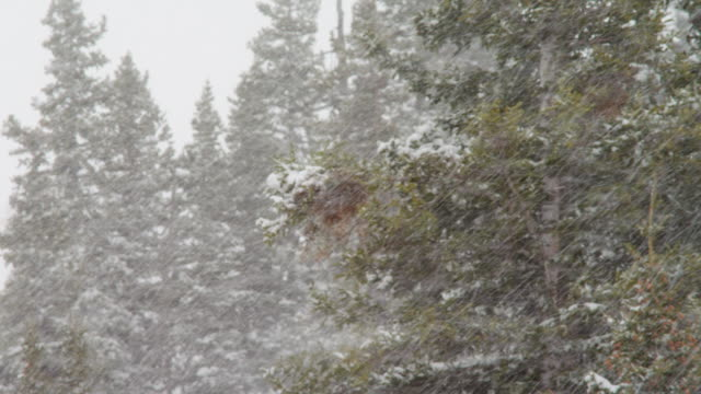 Pull focus, snow falls in hillside forest