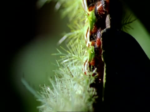 cu pull focus, tilt along body to spiny caterpillar to head, munching along leaf edge, costa rica - intricacy stock videos & royalty-free footage