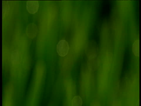 stockvideo's en b-roll-footage met pull focus to blades of grass, western scotland - plant attribute