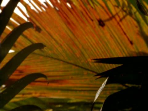 cu pull focus to coco de mer palm leaf (lodoicea maldivica), seychelles - 葉状体点の映像素材/bロール