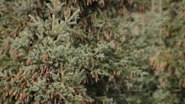 pull focus to conifers, alaska. - coniferous stock videos & royalty-free footage