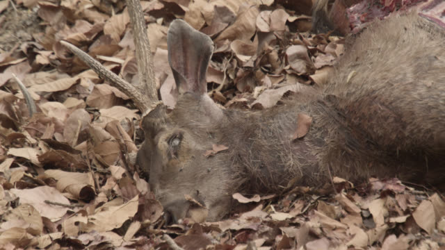 stockvideo's en b-roll-footage met pull focus to dead sambar deer (rusa unicolor) tiger kill, bandhavgarh, india - rottend