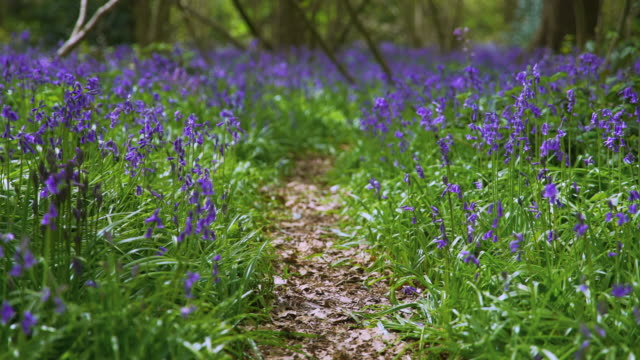 pull focus to foreground of pathway amongst bluebells - footpath stock videos & royalty-free footage