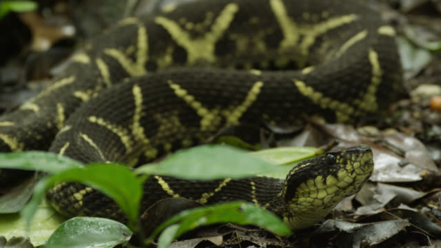 pull focus to jararacussu (bothrops jararacussu) resting on forest floor. - ヘビ点の映像素材/bロール