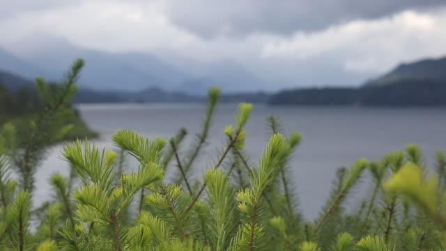 pull focus view of new needle growth on tree, stormy lake - 針状葉点の映像素材/bロール