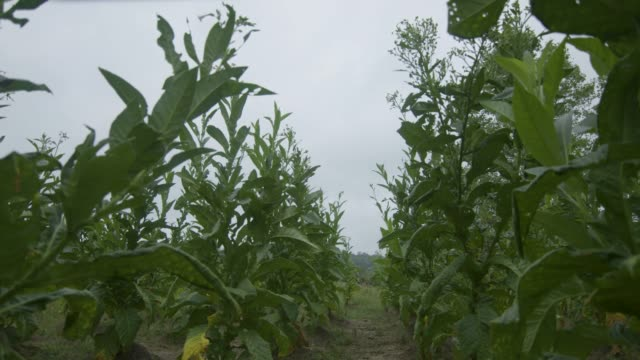 pull out shot of tobacco plant rows - tobacco crop stock videos & royalty-free footage
