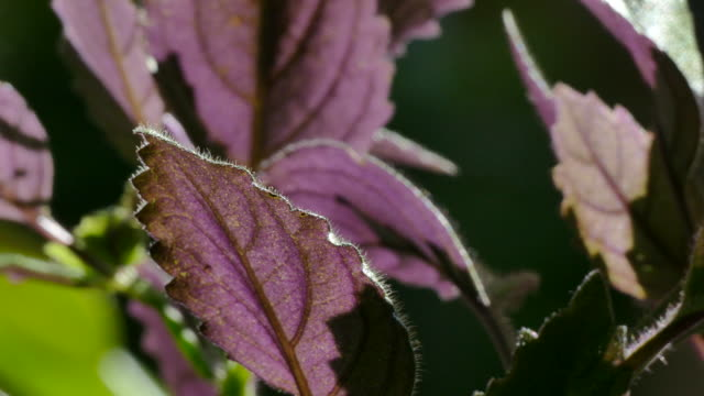 4k - pull-out from a backlit purple leaf close-up to show the rest of the plant - eaten stock videos & royalty-free footage