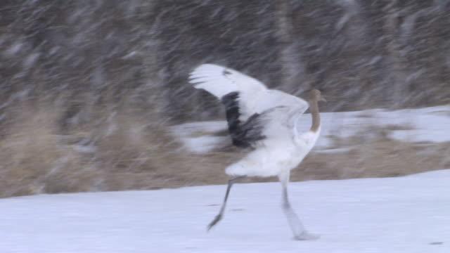 a pullus of crane - 数匹の動物点の映像素材/bロール