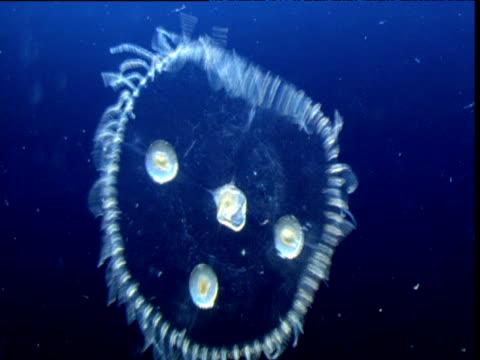 stockvideo's en b-roll-footage met pulsating obelia plankton, bermuda - plankton