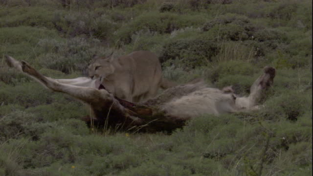 a puma drags guanaco carcass. available in hd. - puma stock videos & royalty-free footage