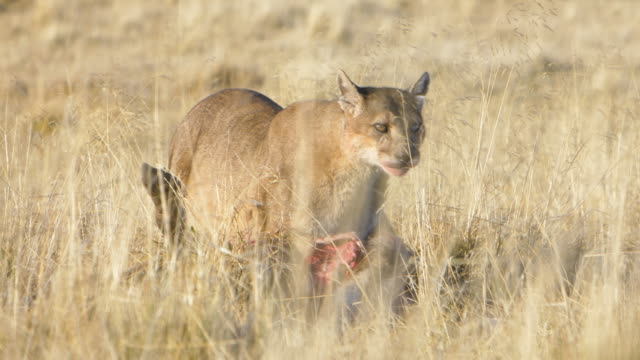 puma eating a guanaco in the grass of torres del paine - mountain lion stock videos & royalty-free footage