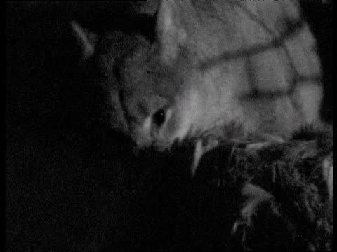 vídeos y material grabado en eventos de stock de puma eating deer carcass at night, canada - puma