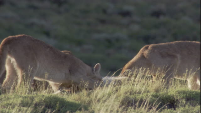 a puma family feeds on a guanaco carcass. available in hd. - puma stock videos & royalty-free footage