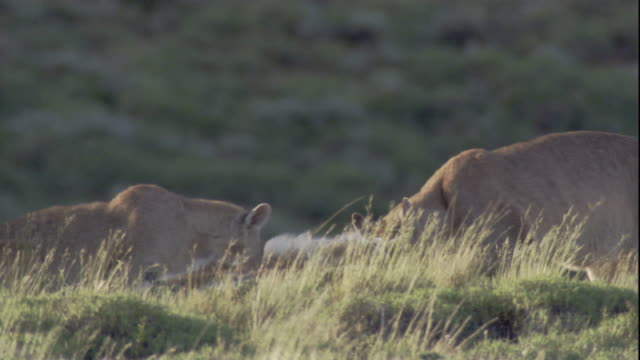 a puma family feeds on a guanaco carcass. available in hd. - adolescence stock videos & royalty-free footage