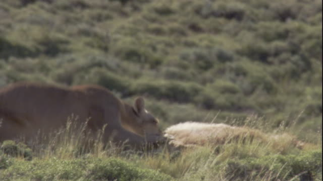 a puma feeds on a guanaco carcass. available in hd. - puma stock videos & royalty-free footage