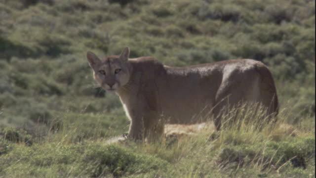 vídeos y material grabado en eventos de stock de a puma feeds on a guanaco carcass. available in hd. - puma